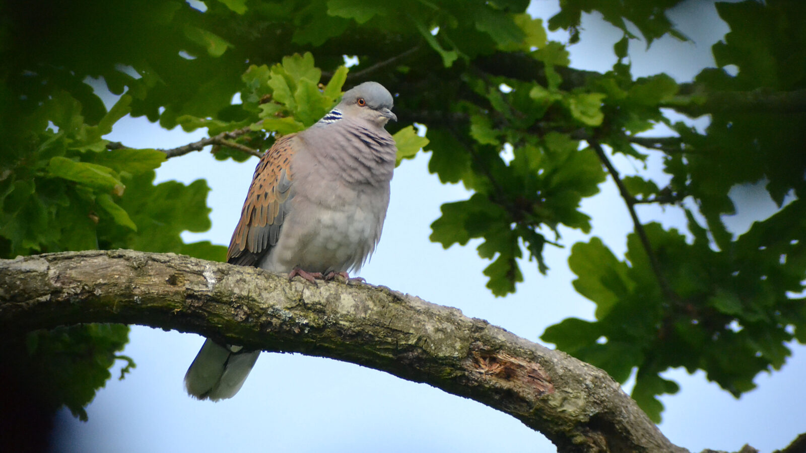 Turtle Dove at Knepp Castle Estate, by Ben Green