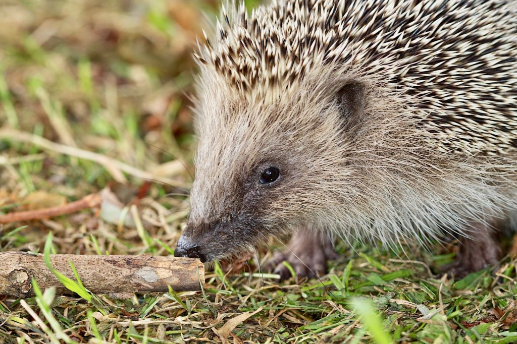 This image has an empty alt attribute; its file name is Hedgehog-5-1-1024x682.jpg